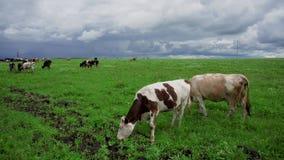 Les vaches à animaux familiers frôlent en été sur un pré vert banque de vidéos