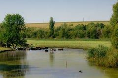 Les vaches à ferme sur le pâturage Photo libre de droits