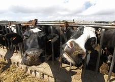 Les vaches à la clôture de ferme dans un lait cultivent Image stock