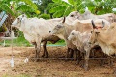 Les vaches à troupeau dans le domaine calent, la montre en avant des vaches, le c blanc Images stock