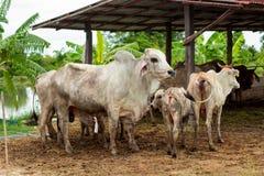 Les vaches à troupeau dans le domaine calent, la montre en avant des vaches, le c blanc Photo libre de droits