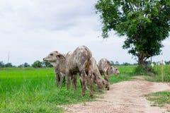 Les vaches à troupeau dans le domaine calent, la montre en avant des vaches, le c blanc Image stock
