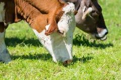 Les vaches blanches à bétail de Brown frôlent au pré vert frais image libre de droits