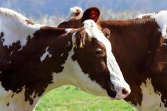 Les vaches clôturent également des amitiés Photographie stock