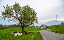 Les vaches d?tendent sur l'herbe en luzerne image libre de droits