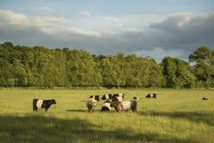Les vaches dans des domaines de ferme aménagent en parc la soirée d'été en Angleterre Photographie stock libre de droits