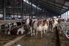 Les vaches de l'élevage de Monbeliards dans le bétail gratuit calent Photo stock