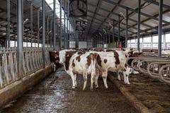 Les vaches de l'élevage de Monbeliards dans le bétail gratuit calent Photo libre de droits