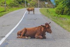 Les vaches de la région de Mtskheta-Mtianeti, la Géorgie image stock