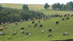 Les vaches et l'Oxens banque de vidéos