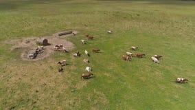 Les vaches frôlent sur le pâturage banque de vidéos