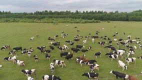 Les vaches frôlent sur le pâturage clips vidéos