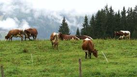 Les vaches frôlent sur un pré de montagne à l'arrière-plan des montagnes alpines banque de vidéos