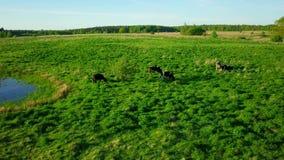 Les vaches frôlent sur un pré près de l'étang banque de vidéos