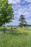 Les vaches frôlent dans la campagne anglaise scénique Photographie stock libre de droits