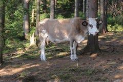 Les vaches frôlent dans la forêt Photographie stock libre de droits