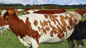 Les vaches frôlent dans le pré clips vidéos
