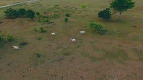 Les vaches frôlent dans les steppes banque de vidéos