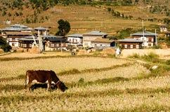 Les vaches frôlent sur la montagne du Bhutan Photos stock