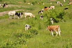 Les vaches frôlent sur le beau champ Images stock