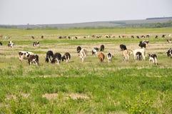 Les vaches frôlent sur le beau champ Photo libre de droits
