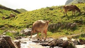 Les vaches frôlent sur un pré d'alpe banque de vidéos