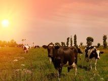 Les vaches frôlent sur un pré de montagne au coucher du soleil de la Grèce Vache sur la montagne vis-à-vis de la mer image stock