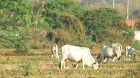 Les vaches groupent la consommation et le repos dans la rizière clips vidéos