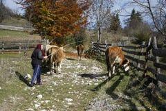Les vaches mènent à la montagne par leur propriétaire Photo stock