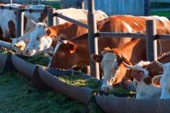 Les vaches mangent des câbles d'alimentation d'ensilage Photos stock