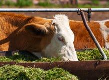 Les vaches mangent l'ensilage Image libre de droits