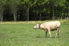 Les vaches mangent l'herbe Photo libre de droits