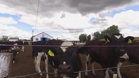 Les vaches mangent le foin clips vidéos