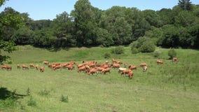 Les vaches rouges frôlent sur le pâturage vert luxuriant clips vidéos