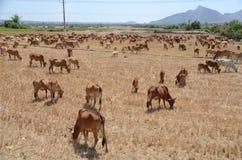 Les vaches sèches sont pâturage dû à la sécheresse photo libre de droits