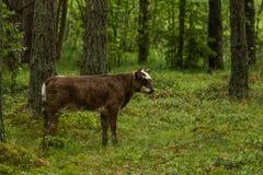 Les vaches sauvages curieuses dans une forêt enfantent des vaches avec le veau Photos libres de droits