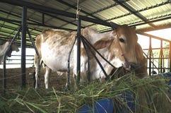 Les vaches sont alimentées le bétail Photo stock
