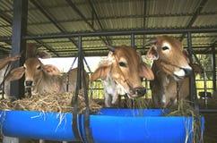 Les vaches sont alimentées le bétail Image libre de droits