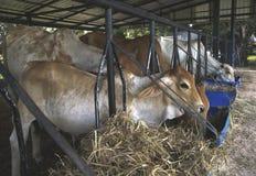 Les vaches sont alimentées le bétail Photographie stock