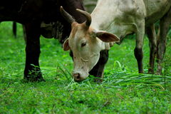 Les vaches sont des animaux Photos libres de droits