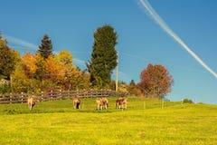 Les vaches sur le pré sur le champ en Suisse contre les avions tracent sur le ciel bleu clair images libres de droits