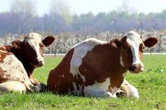Les vaches vivent dans les groupes et dans chaque groupe il y a une hiérarchie Images libres de droits