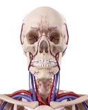 Les vaisseaux sanguins de la tête Images libres de droits