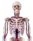 Les vaisseaux sanguins de thorax Photo libre de droits