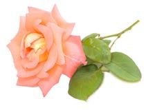 Les valentines roses d'abricot se sont levés photographie stock libre de droits