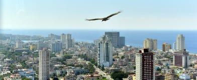 Les vautours américains (Cathartidae Lafresnaye) monte au-dessus de Havana Cuba Images stock
