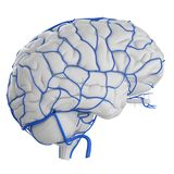 Les veines de cerveau illustration de vecteur