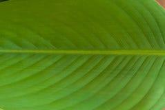 Les veines de la feuille de canna de l'eau Photos libres de droits