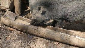 Les verrats noirs boivent l'eau sale d'un buveur en bois Hutte dans les jungles de l'Inde banque de vidéos