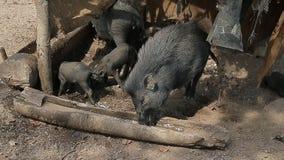 Les verrats noirs boivent l'eau sale d'un buveur en bois Hutte dans les jungles de l'Inde clips vidéos